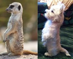 A Jack Twin practicing to be a Meerkat...