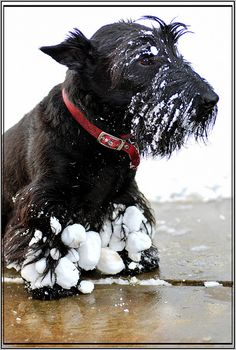 This is the worst case of Scottish Terrier snowballs ever!  They say to use a blow dryer, but sticking them in the sink with warm water works fine!
