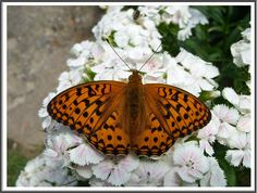 The High Brown Fritillary (Argynnis adippe) is a butterfly in Nymphalidae family. This is one of three rather similar species. They are all rather widespread across Europe from southern Spain to central Scandinavia.