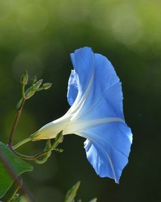 Morning glory - Heavenly Blue- reminds me of my Nanny, who gifted me with the love of the soil. Morning Glory Flowers, Blue Morning Glory, Summer Flowers, Blue Flowers, Beautiful Flowers, Volubilis, Flowers Nature, Land Scape, Flower Power
