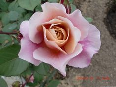 'Distant Drums ' Rose Photo