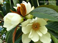 A magnolia like flower appearing in late winter and spring. It is an evergreen tree growing to in height. Originates from Western China and Eastern Himalayas. Evergreen Magnolia, Magnolia Trees, Evergreen Trees, Garden Frame, Specimen Trees, Courtyard Design, Plant Guide, Outdoor Gardens, Outdoor Rooms
