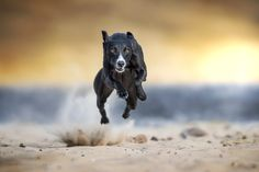 Bomb on the sand :) - A whippet is running like a bomb thrown on the sand www.claudiopiccoli.com