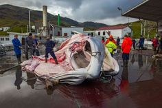 Icelandic whaling: Conservationists split over efficacy of Obama's sanctions, E.U. protest