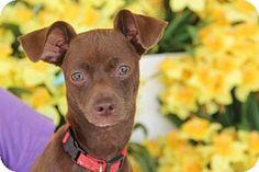 tampa, FL - Manchester Terrier Mix. Meet Millie, a dog for adoption. http://www.adoptapet.com/pet/15436089-tampa-florida-manchester-terrier-mix