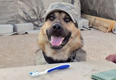 Ajax L523, like all dogs on deployment, got regular tooth brushings from his handler. Military dogs and their handlers have an intensely close bond that results from being together nearly 24 hours a day in high-stress environments.