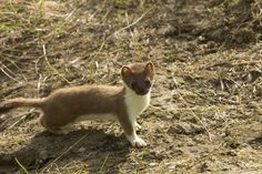 Picture 3 of 7 - Pictures and Images - Weasel (Mustela nivalis) - Animals - A-Z Animals - Animal Facts, Information, Pictures, Videos, Resources and Links La Martre, Carnivore, Spirit Animal, Mink, National Geographic, Animal Kingdom, Mammals, Cute Animals, Small Animals
