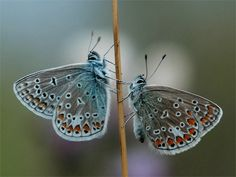fotos de mariposas argentinas