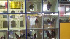 gallos encerrados