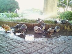 pigeon bath by CCSS building in SJ, Costa Rica.