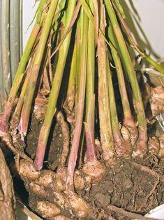 Kořeny se rozrůstají do šířky Green Onions Growing, Growing Greens, Private Garden, Ikebana, Indoor Garden, Garden Inspiration, Vegetable Garden, Bonsai, Asparagus