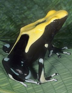 ☆ Yellow Back Poison Arrow Frog, D. ticnctorius, French Guiana :¦: Gail Melville Shumway Photography ☆