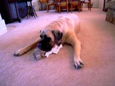 This mastiff doesn't stand a chance.