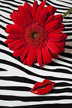 Red Geber Daisy And Red Lips