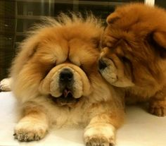 Pup besos Chow Puppies, Chow Chow Dogs, Dogs And Puppies, Zoo Animals, Animals And Pets, Cute Animals, Lion Dog, Dog Cat, Cute Animal Pictures