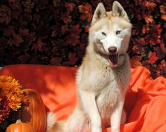 """Happy is a red and white male Siberian Husky. He is approximately 1 year, 6 months old."" Isn't he gorgeous? Check out his page for adoption information!"