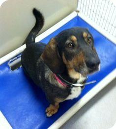 Joplin, MO - Basset Hound Mix. Meet Cricket 101111 a Dog for Adoption.