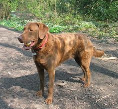 Maryland State Dog - Chesapeake Bay Retriever