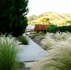 Mexican feather grass: 3 ft tall and tolerate lean sandy soil and little water.