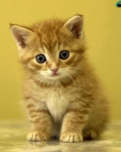 Can I have another ginger kitten please?