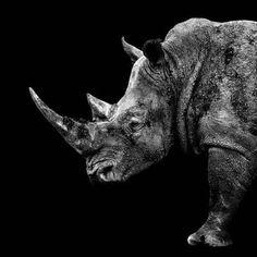 Philippe Hugonnard Poster Print Wall Art Print entitled Rhino Black Edition II, None Acrylic Wall Art, Canvas Wall Art, Wall Art Prints, Poster Prints, Canvas Prints, Posters, Wolf Canvas, Black Edition, Metal Wall Art