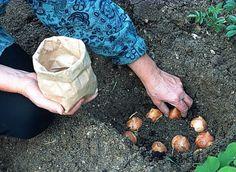 www.rustica.fr - En automne, plantez des tulipes
