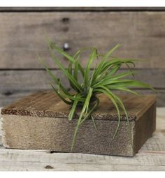 Air plants (tillandsias) are our favorite way to decorate any space! Low maintenance and beautiful!