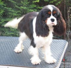 Cavalier King Charles Spaniel | Cavalier King Charles Spaniel. Insertion - Tiere, Hunde. Österreich