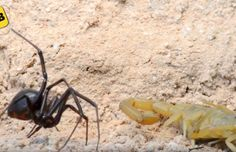 Scorpion contre veuve noire