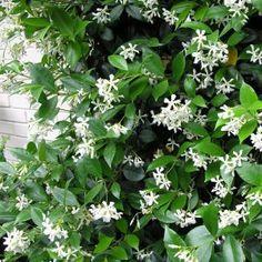 Landscaping Plants, Garden Plants, Trachelospermum Jasminoides, Brick Shed, Evergreen Climbers, Garden Yard Ideas, Plant Species, Acer Palmatum, Back Gardens