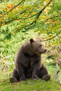 """Bear in Bavarian Forest, Germany - ©RobChristiaans: """"Because of the funny position of the bear, it reminds me of Winnie the Pooh"""" ;-)."""