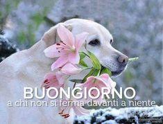 Italian Memes, Good Day, Labrador Retriever, Dogs, Labradors, Bonjour, Italian Greetings, Buen Dia, Labrador Retrievers