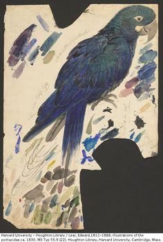 Edward Lear, Study of an Indigo Macaw, Watercolor over graphite on paper. Ink on paper.