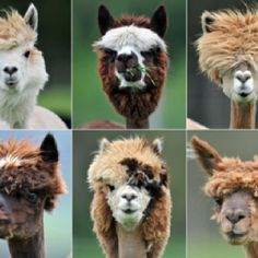 5 of these are cool golf club headcovers, the other is a real Llama!