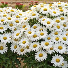 Leucanthemum x superbum Daisy May®