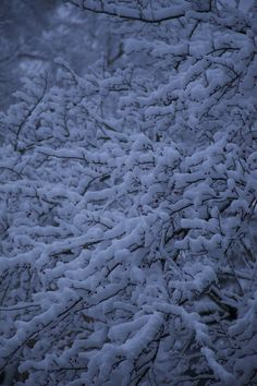 Snow covered berries 11/17/14