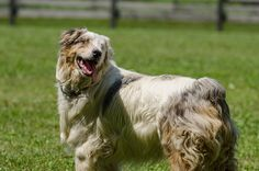 """We've updated our website with a new face on the """"Meet the Dogs"""" Page: Flurry is a blind Australian Shepard who's living life to the fullest at Home for Life in memory of his beloved brother Winter: http://homeforlife.org/dogbio_flurry.htm Photo: We've updated our website with a new face on the """"Meet the Dogs"""" Page: Flurry is a blind Australian Shepard who's living life to the fullest at Home for Life in memory of his beloved brother Winter: http://homeforlife.org/dogbio_flurry.htm"""