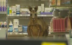 Kangaroo 'Cyrus' hops into airport pharmacy in Melbourne, Australia (Photo: Reuters TV)