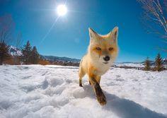 Fox at Steamboat Resor