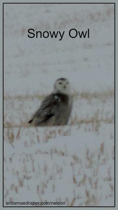 Snowy Owl, Southeast Saskatchewan, Mar 2018. Source: Nelson Draper Snowy Owl, Owls, Poem, Wildlife, Birds, Blog, Photos, Animals, Image