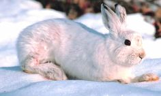 Changes in Climate Change Leaving the Snowshoe Hares as Easy Prey Snowshoe Hare, Harry Potter Birthday, Bunny Rabbit, Predator, Vulnerability, Climate Change, Habitats, North America, Wildlife