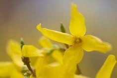 Extreme close up of a forsythia flower | par jpskoubo2016