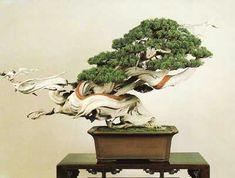 Juniperus chinensis  Height: 78 cm (30 1/2 in)