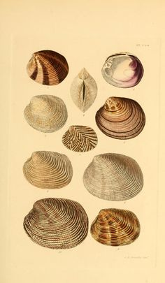 v.2 (1855) - Thesaurus conchyliorum, or, Monographs of genera of shells - Biodiversity Heritage Library