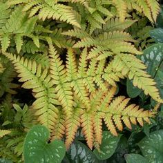 Buy Dryopteris Brilliance Perennial Plants Online. Garden Crossings Online Garden Center offers a large selection of Fern Autumn Plants. Shop our Online Perennial catalog today!