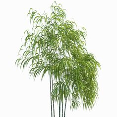 Golden Bamboo Plant 3d Max Golden Bamboo Bamboo Plants