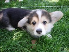 108 reasons corgis are the greatest things of all time.