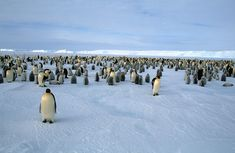We absolutely love this Emperor penguin picture! Many thanks to Heiner and Rosamaria from PolarNews to share their picture with Oceanwide Expeditions. Penguin Pictures, Animal Pictures, Zebras, Giraffes, Animals And Pets, Cute Animals, Camping Photo, Antarctica, Marine Life