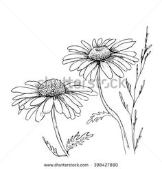 Chamomile Hand Drawn Flowers Background, Vector Flowers Illustration. Ink Drawing Flowers. Contour Pencil Drawing. Hand Drawn Sketch. Drawn Sketch Of Flowers. Doodles Hand Drawn. Flowers Doodles. - 398427880 : Shutterstock