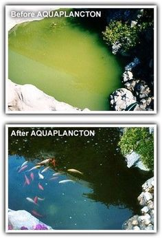 Pond Algae Control - AQUAPLANCTON: A Natural Solution for Ponds/Lakes